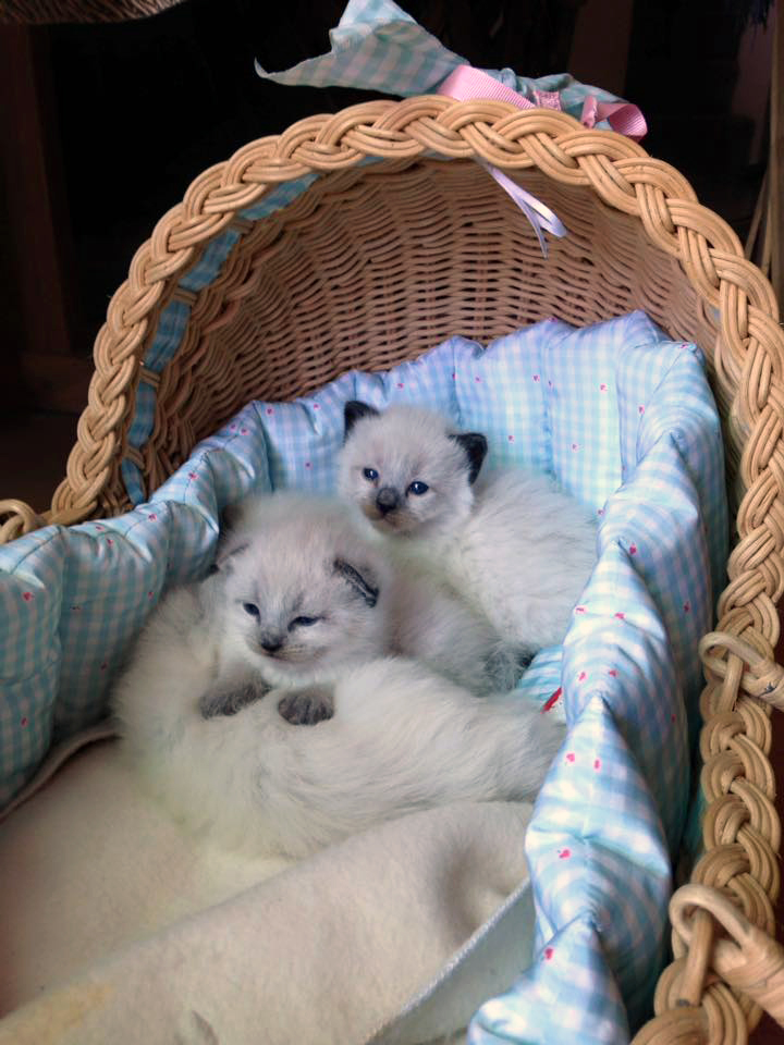 Traditional Balinese Cats And Kittens