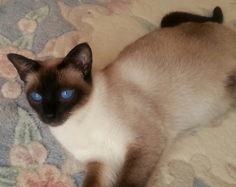Siamese Cats For Adoption In San Diego