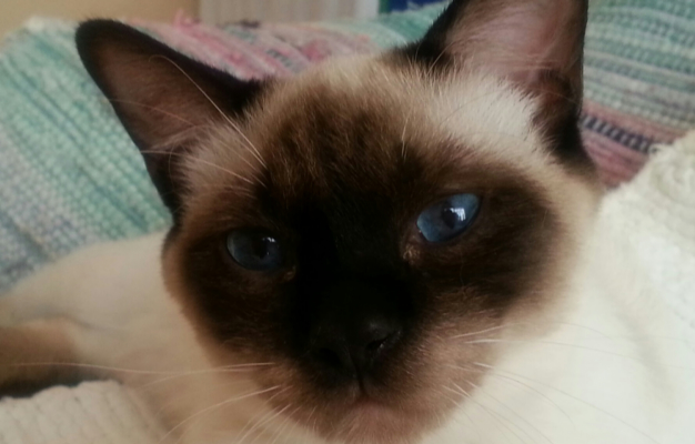 Siamese Cat Rescue Buffalo Ny | Best Cat Cute Pictures, Meme