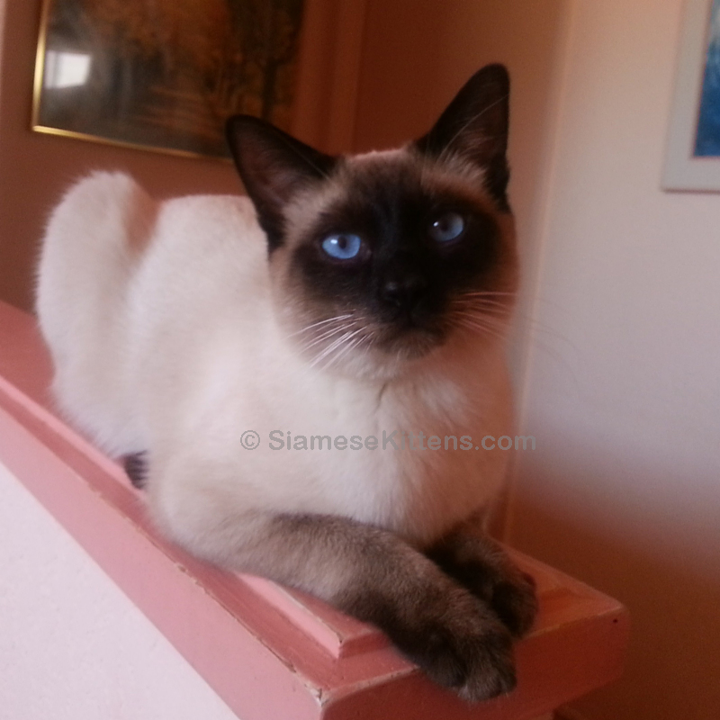 Traditional Applehead Siamese Cats and Kittens – Breeder