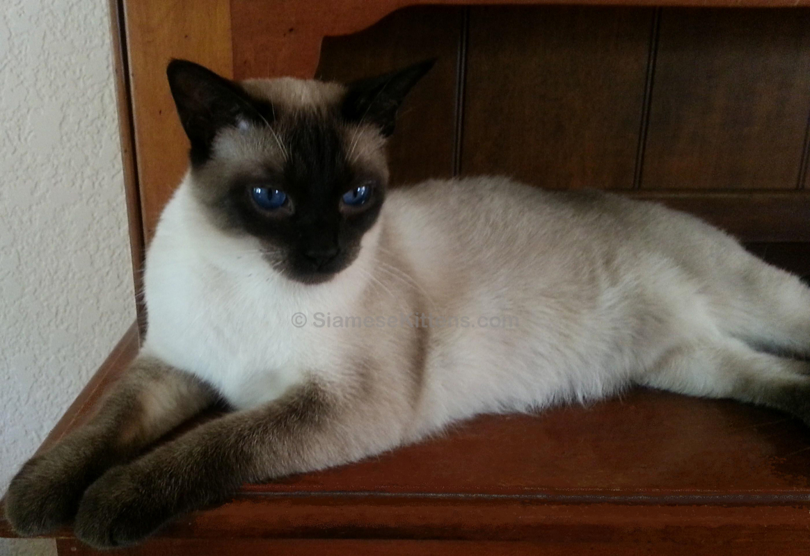 Traditional Applehead Siamese Cats and Kittens – Breeder Diane