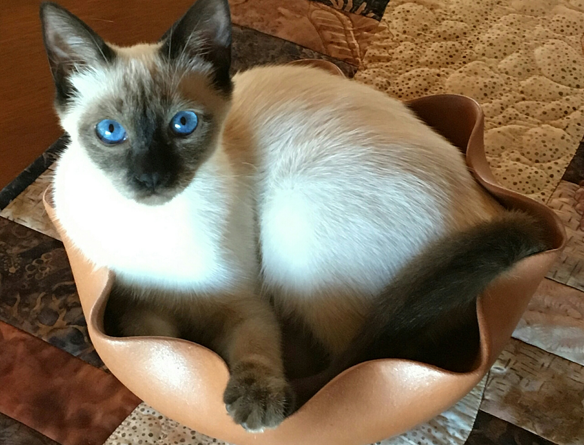 Traditional Siamese Cats & Kittens - Diane Recommendations ...