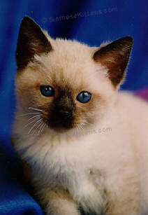 What To Name A Sable Colored Cat