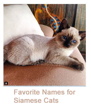 History of Traditional Siamese Cat - Diane Dunaway Siamese